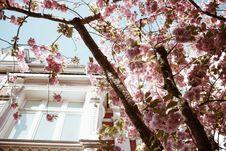 Free Sakura Tree Royalty Free Stock Photography - 130288757