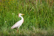 Free Egret Bird Royalty Free Stock Photos - 130289418