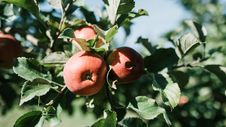 Free Photo Of Red Apples On An Apple-tree Branch Royalty Free Stock Photo - 130289695