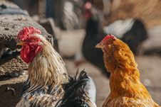 Free Photo Of Chickens Stock Photography - 130290812