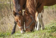 Free Two Brown Horses Feeding On Grass Royalty Free Stock Images - 130290949