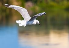 Free Flying White Bird Above Body Of Water Royalty Free Stock Photo - 130422835