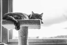 Free Grayscale Photography Of Cat Lying On Cat Tree Royalty Free Stock Photography - 130423427