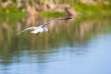 Free White Feathered Bird Flying Above Calm Body Of Water Royalty Free Stock Photos - 130423898