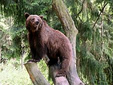 Free Brown Bear, Terrestrial Animal, Bear, Grizzly Bear Royalty Free Stock Photo - 130472005