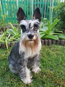Free Dog Like Mammal, Dog, Dog Breed, Miniature Schnauzer Royalty Free Stock Photos - 130472398