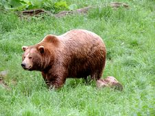 Free Brown Bear, Terrestrial Animal, Bear, Grizzly Bear Stock Photography - 130472422