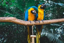 Free Two Orange-and-blue Macaws On Branch Royalty Free Stock Photography - 130492317