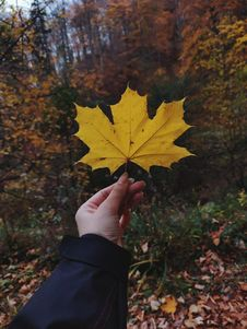 Free Person Holding Dried Maple Leaf Royalty Free Stock Photography - 130492377