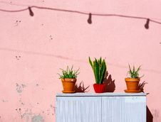 Free Green Golden Snake Plant And Two Aloe Vera Plants Stock Images - 130492474