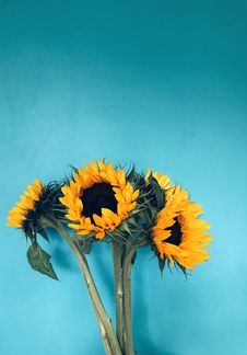 Free Four Sunflowers In Bloom On Teal Surface Stock Images - 130492584