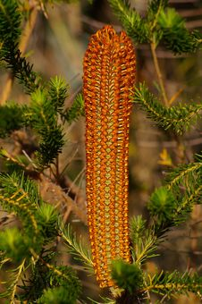 Free Banksia, Pine Family, Plant, Biome Stock Images - 130562974
