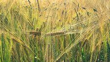 Free Food Grain, Triticale, Barley, Hordeum Stock Image - 130563021