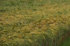 Free Ecosystem, Vegetation, Grass, Crop Stock Photos - 130563053