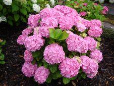 Free Flower, Plant, Hydrangea, Hydrangeaceae Stock Image - 130563061