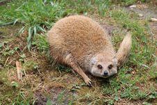 Free Mammal, Fauna, Terrestrial Animal, Meerkat Stock Images - 130563134