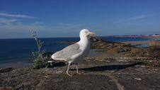 Free Bird, Gull, Seabird, European Herring Gull Stock Photos - 130563203