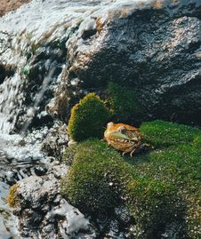 Free Close-Up Photo Of Frog On Mossy Rock Stock Photography - 130644792