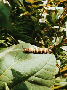 Free Close-Up Photography Of Monarch Caterpillar On Leaf Stock Images - 130644794