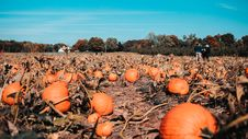 Free Field Of Pumpkins Royalty Free Stock Photography - 130706867