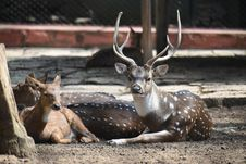 Free Three Brown Deers Laying Down Royalty Free Stock Image - 130707036