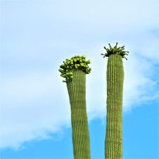 Free Plant, Cactus, Sky, Hedgehog Cactus Stock Photo - 130784780