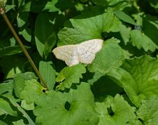 Free Leaf, Moths And Butterflies, Insect, Moth Royalty Free Stock Photos - 130785158