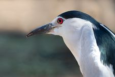 Free Shallow Focus Photo Of Black-Crowned Night-Heron Royalty Free Stock Photography - 130895937