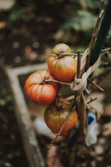 Free Three Tomatoes Royalty Free Stock Photos - 130896168
