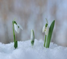 Free Snowdrops Stock Photo - 13099410