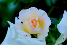 Free Flower, White, Rose Family, Rose Royalty Free Stock Photos - 130998208