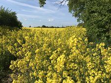 Free Rapeseed, Yellow, Canola, Mustard Plant Stock Photo - 130998520