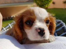Free Dog, Dog Like Mammal, Dog Breed, King Charles Spaniel Stock Photo - 130998840