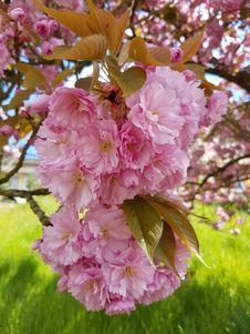 Free Pink, Blossom, Flower, Cherry Blossom Stock Image - 130999081