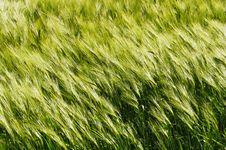 Free Green, Grass, Field, Grass Family Stock Image - 130999401