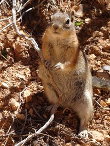 Free Mammal, Fauna, Rodent, Squirrel Royalty Free Stock Images - 130999479