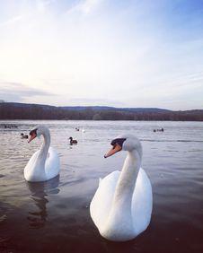 Free Swan, Water Bird, Bird, Water Royalty Free Stock Photos - 130999998