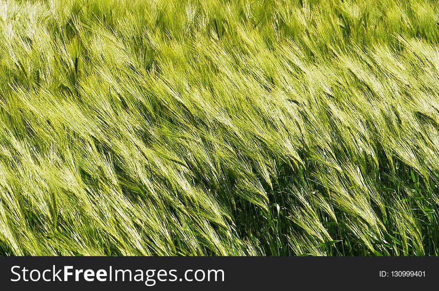 Green, Grass, Field, Grass Family