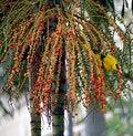 Free Sunbird Eating Fruits 3 Royalty Free Stock Photo - 1319625