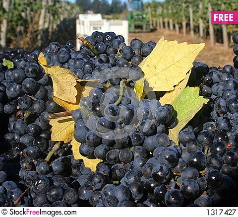 Grapes With Fall Leaves Stock Photo