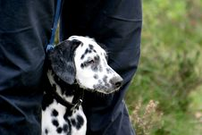 Free Dalmatian Dog Between Legs Stock Photos - 1311693
