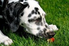 Free Dalmatian Dog And Strawberry Royalty Free Stock Photos - 1311738
