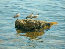 Free Seagulls On The Stone Royalty Free Stock Image - 1312756
