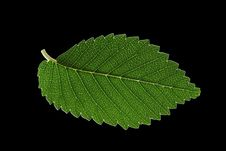 Free Leaf Royalty Free Stock Images - 1312989