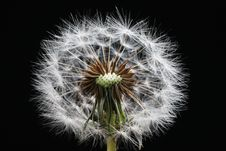 Free Dandelion Stock Photography - 1313042