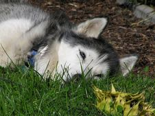 Free Husky Stock Image - 1314921