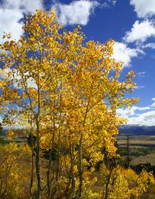 Free Yellow Aspen Trees Royalty Free Stock Photography - 1315177