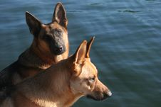 Free Two Dogs Royalty Free Stock Image - 1315236