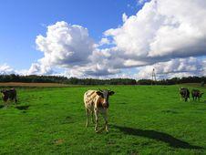 Free Cows Stock Photos - 1315383