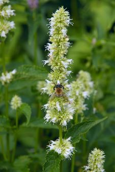 Free Bumblebee Collecting Nectar Royalty Free Stock Photos - 1316868